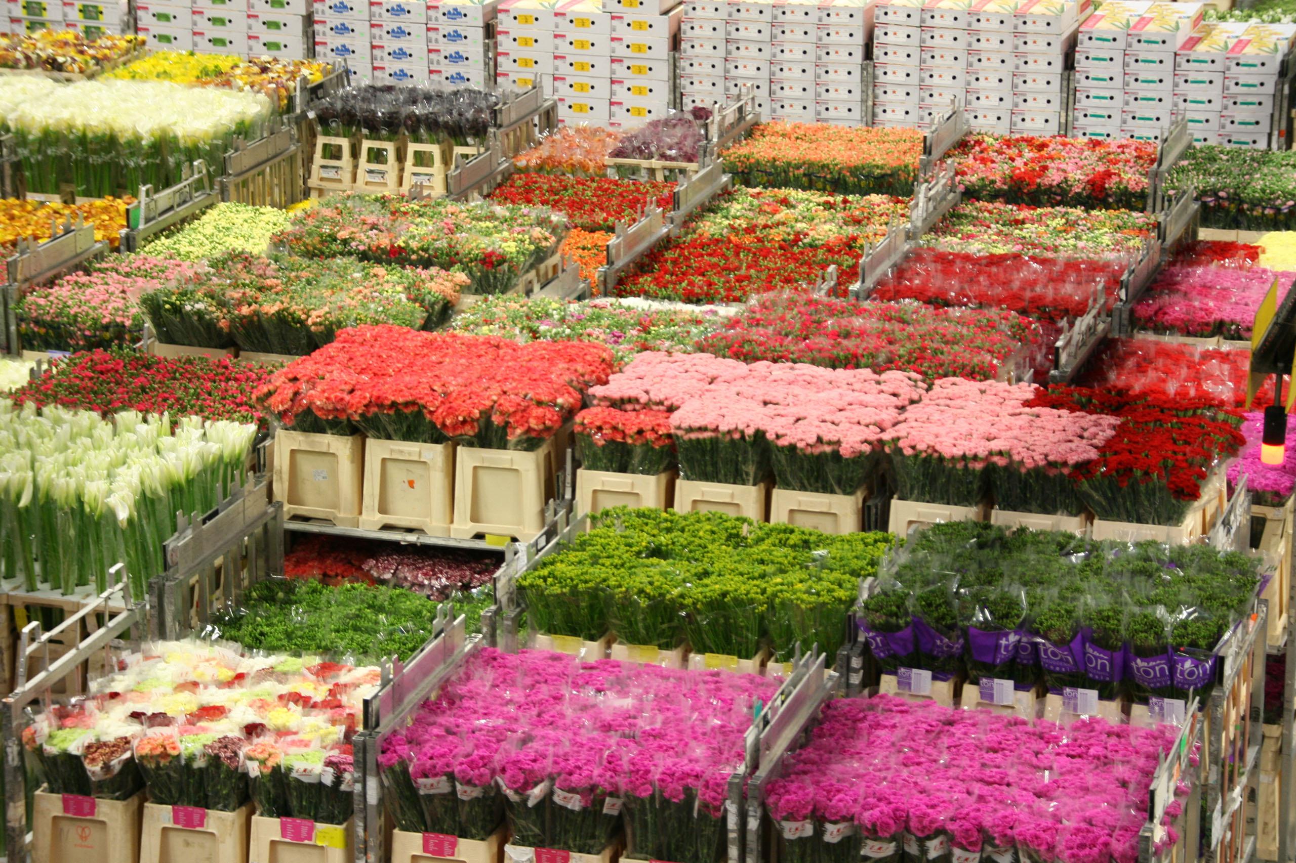 Blumen Wax | Topfpflanzen Und Schnittblumen | Holland | Blumen Und Pflanzen  Grosshandel